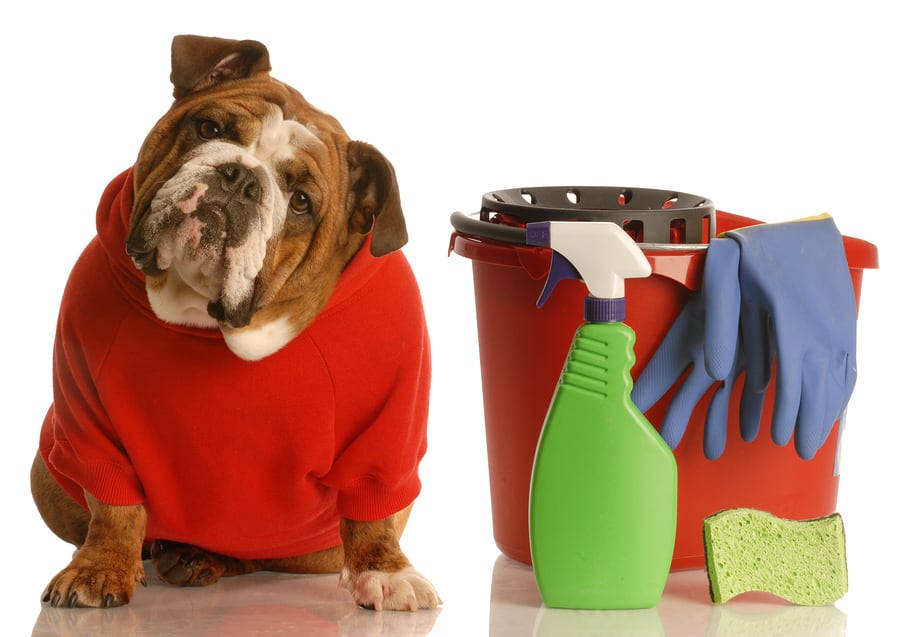 bulldog with cleaning bucket
